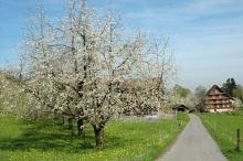 Cherry Blossom, Gadmenhof